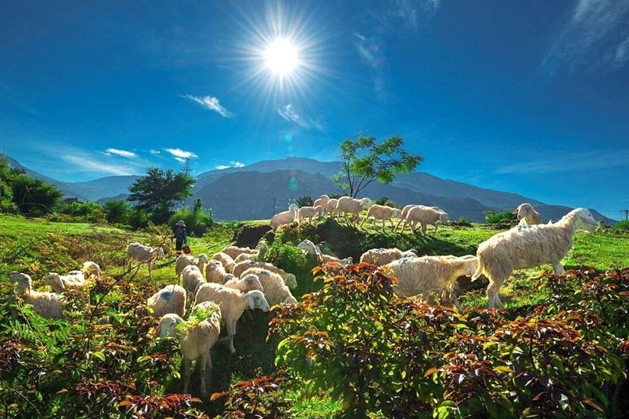 Kinh nghiệm du lịch đồng cừu Ninh Thuận: Đồng cừu An Hòa và Sơn Hải