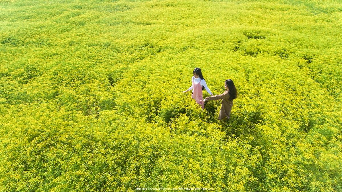 Cánh đồng hoa thì là Ninh Thuận ở đâu, giá vé, kinh nghiệm tham quan