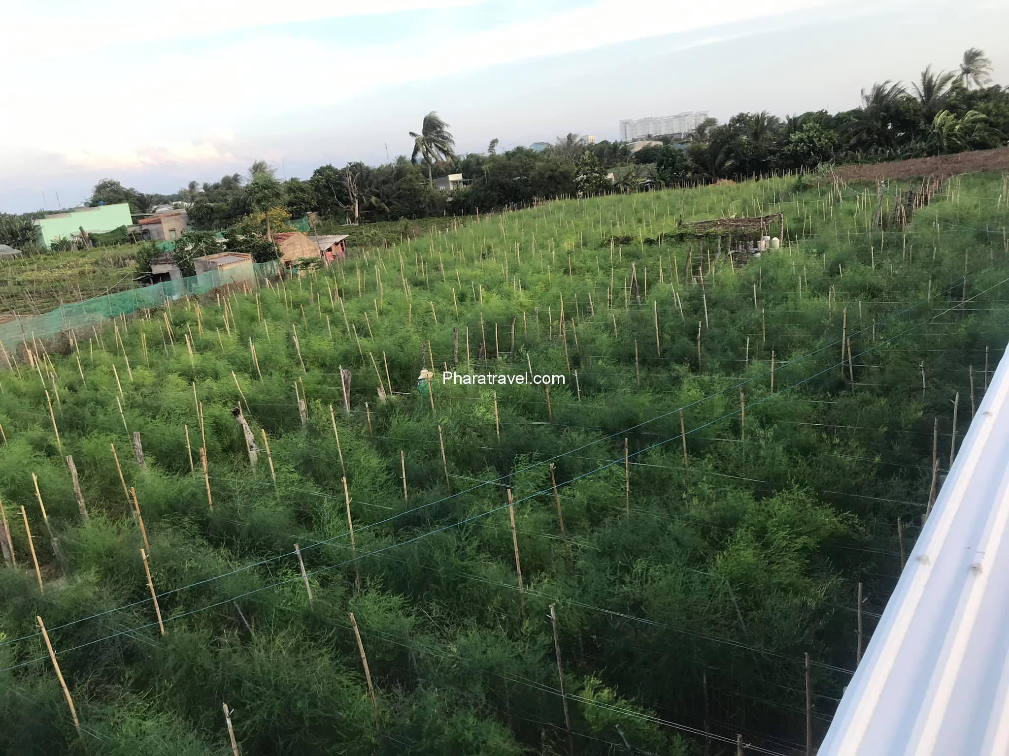 Măng tây Ninh Thuận: giá bán bao nhiêu, cách trồng và mua giống ở đâu?