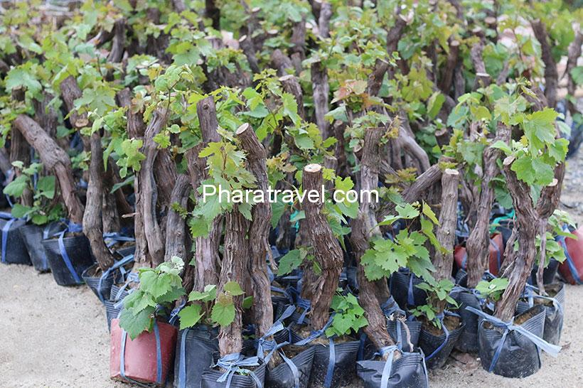 Cách trồng nho Ninh Thuận: Chọn giống, chăm sóc bón phân, tỉa cành