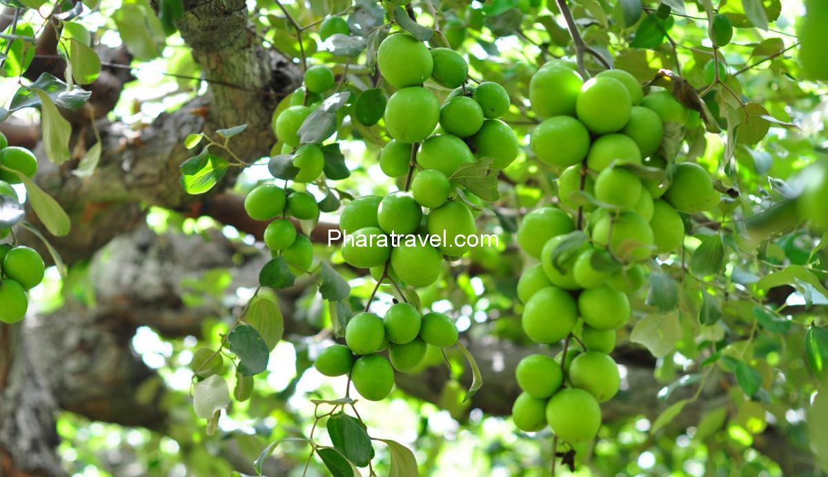Táo xanh Ninh Thuận: Kinh nghiệm tham quan vườn táo, mua làm quà